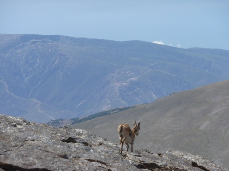 Chamois at Sierra Nevada Peak