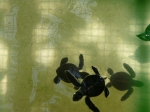 Penang sea turtles