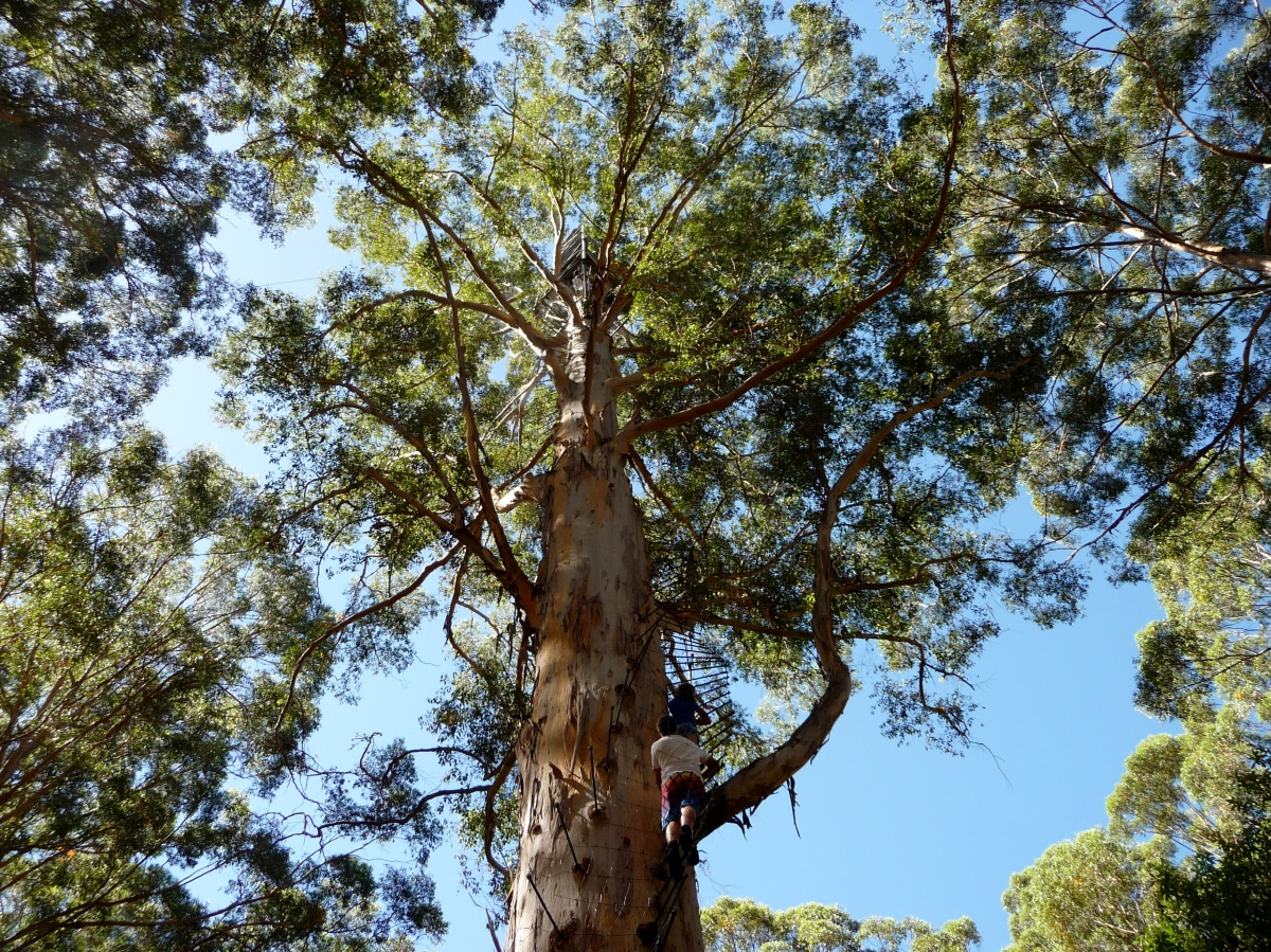 Gloucester tree top